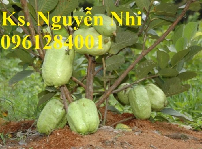 Cung cấp các loại giống cây ổi, ổi lê, ổi nữ hoàng, ổi ruby, ổi không hạt, ổi tím, số lượng lớn, giao hàng toàn quốc7