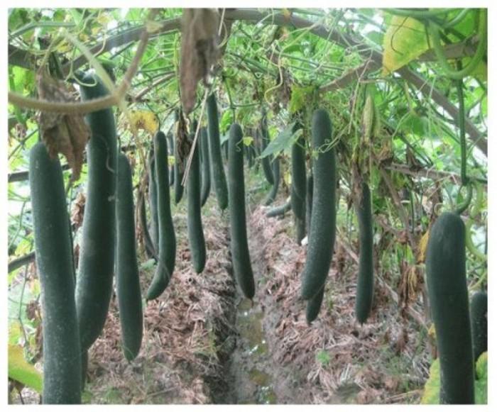 Hạt giống bí đao xanh (bí sặt) Phú Nông1