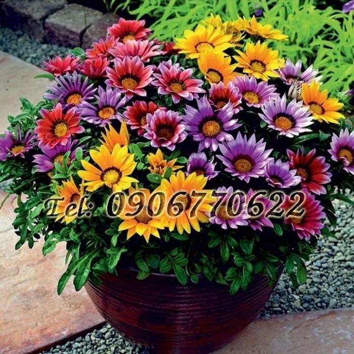 Hạt giống hoa cúc Gazania – Bịch 10 hạt0