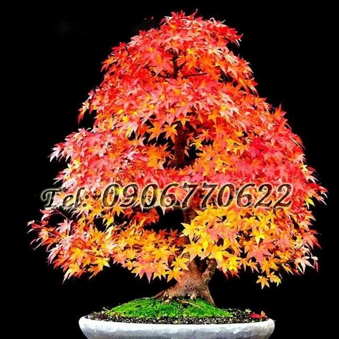 Hạt giống bonsai phong lá đỏ – Bịch 10 hạt0