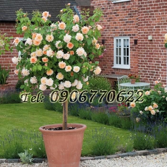 Hạt giống hoa hồng thân gỗ – Bịch 10 hạt0