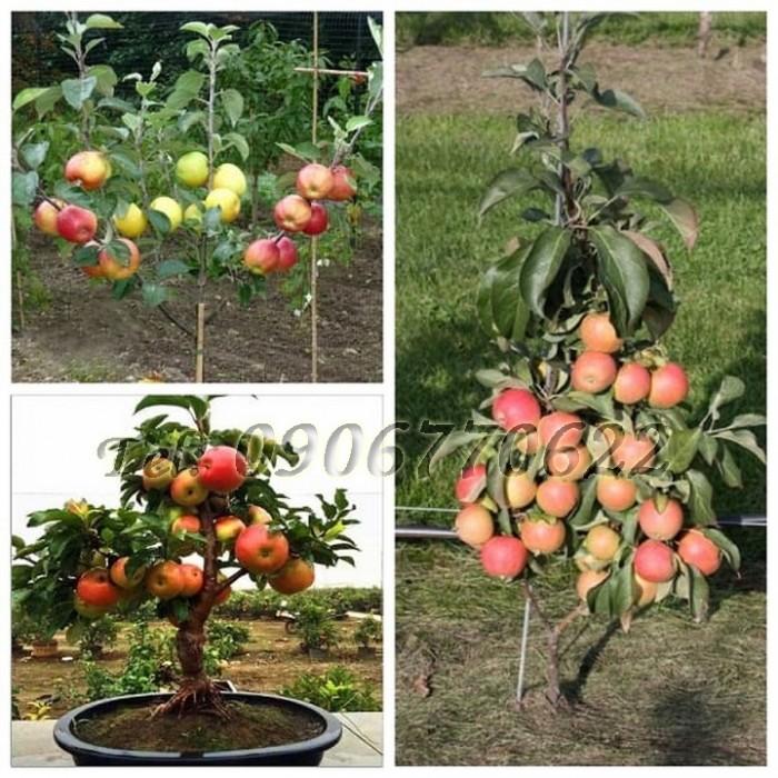 Hạt giống cây táo lùn – Bịch 10 hạt0