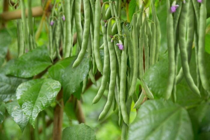 Hạt giống đậu cove bụi lùn (không leo) Rạng Đông0