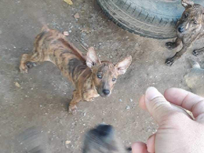 Chó phú Quốc.bán chó con0