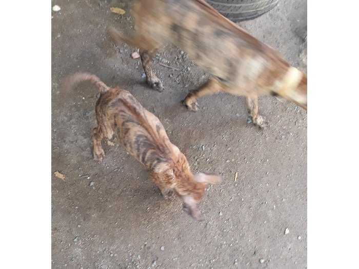 Chó phú Quốc.bán chó con1