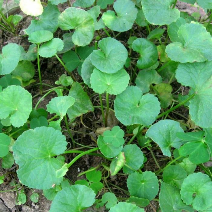Hạt giống rau má lá nhỏ Rạng Đông1