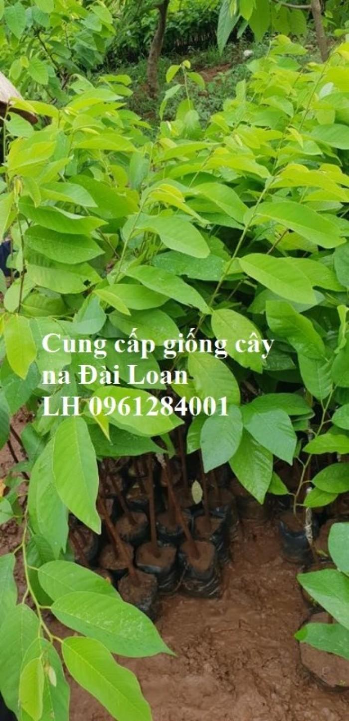 Địa chỉ cung cấp giống cây na Đài Loan uy tín, chất lượng5
