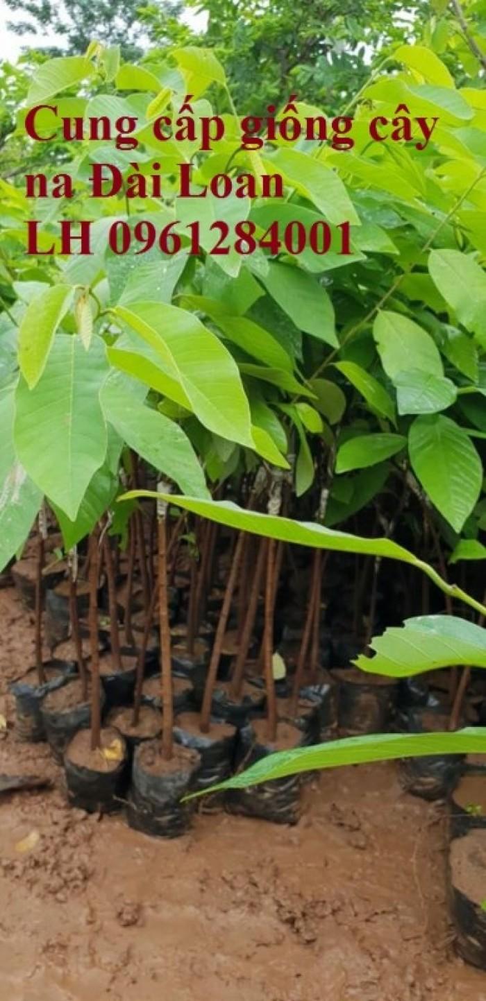 Địa chỉ cung cấp giống cây na Đài Loan uy tín, chất lượng6
