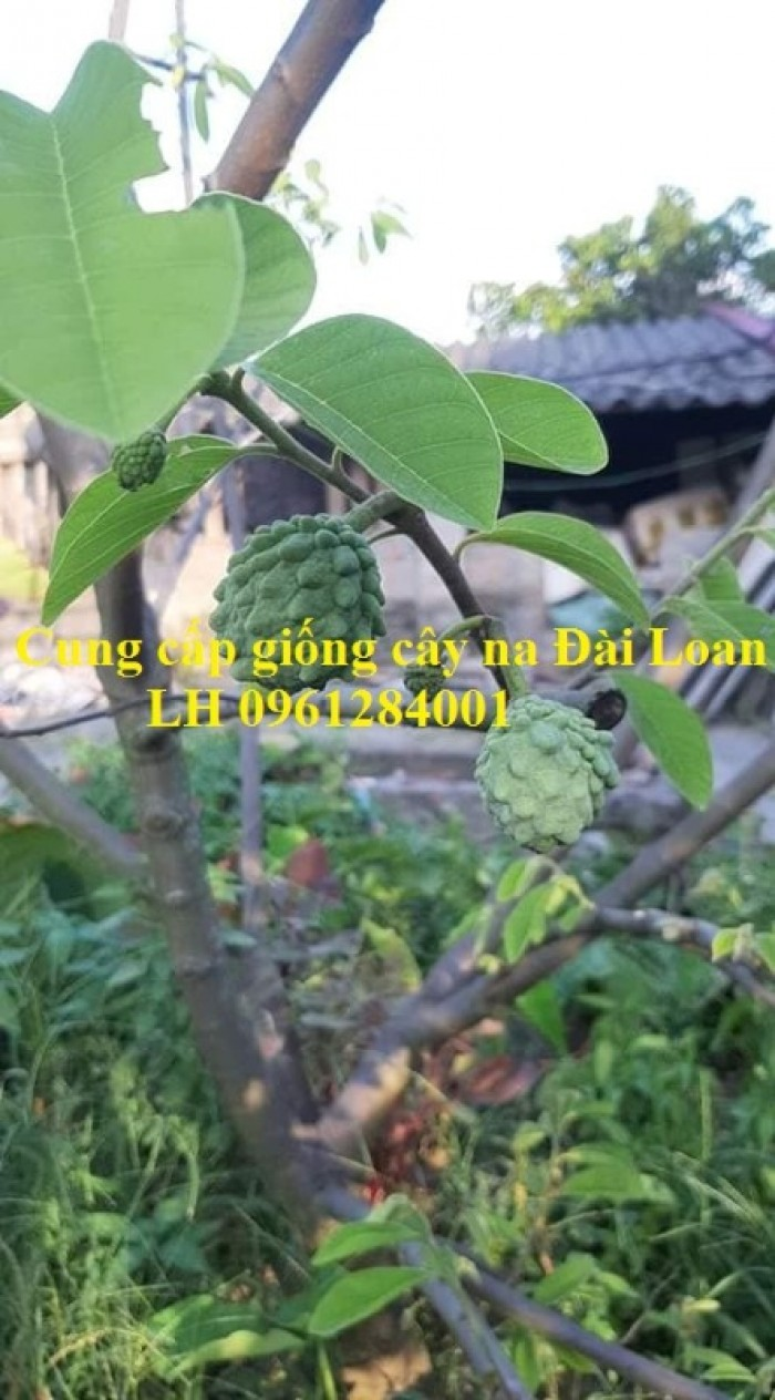 Địa chỉ cung cấp giống cây na Đài Loan uy tín, chất lượng4
