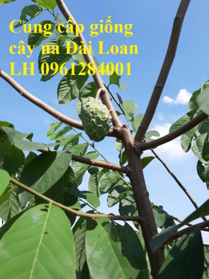 Địa chỉ cung cấp giống cây na Đài Loan uy tín, chất lượng3
