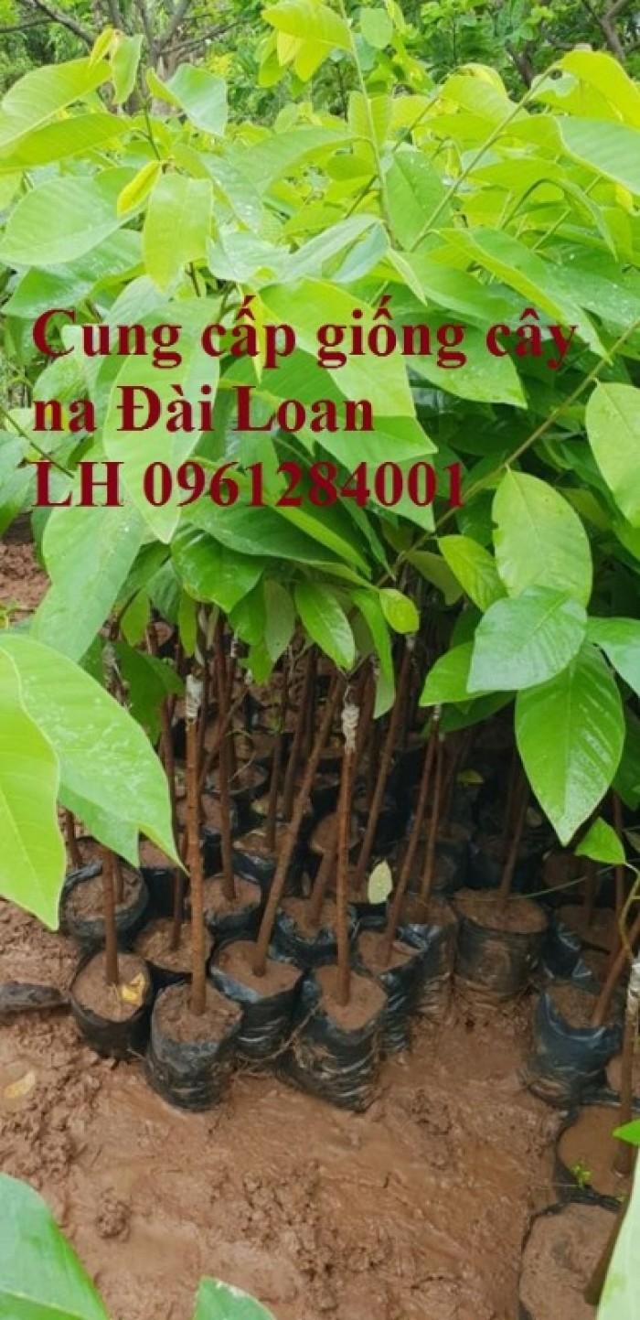 Địa chỉ cung cấp giống cây na Đài Loan uy tín, chất lượng8