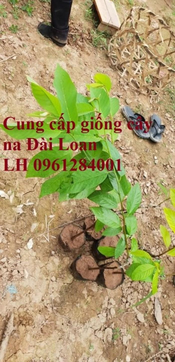 Địa chỉ cung cấp giống cây na Đài Loan uy tín, chất lượng7