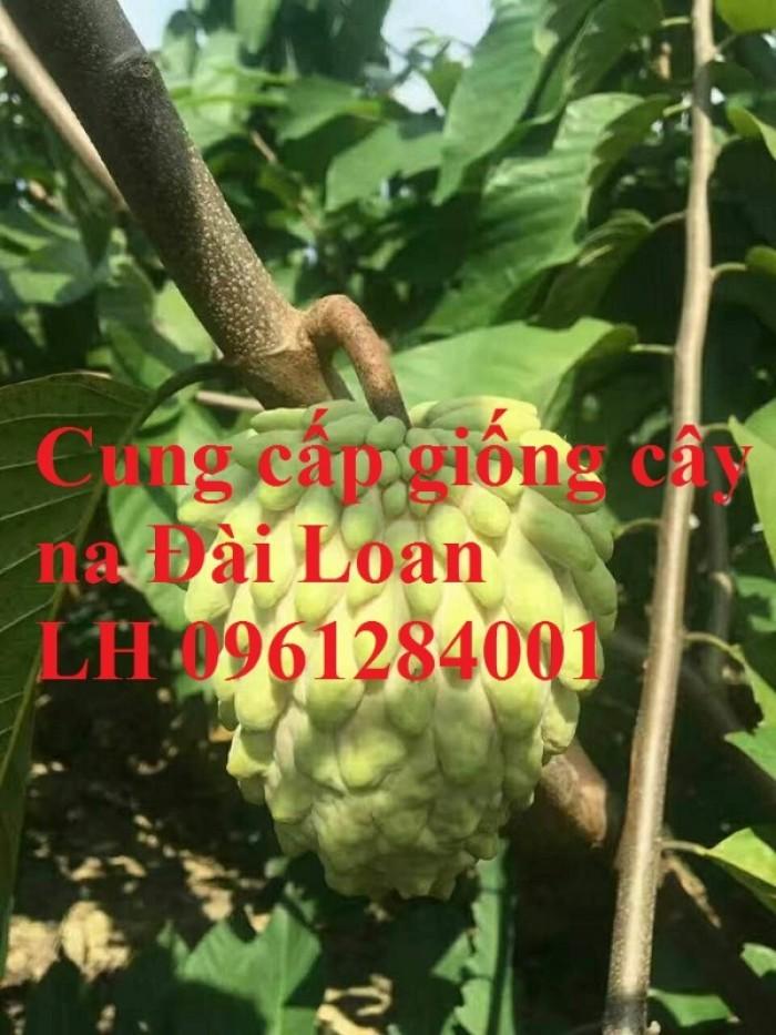 Địa chỉ cung cấp giống cây na Đài Loan uy tín, chất lượng10