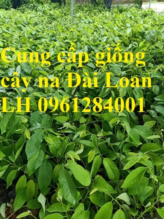 Địa chỉ cung cấp giống cây na Đài Loan uy tín, chất lượng12