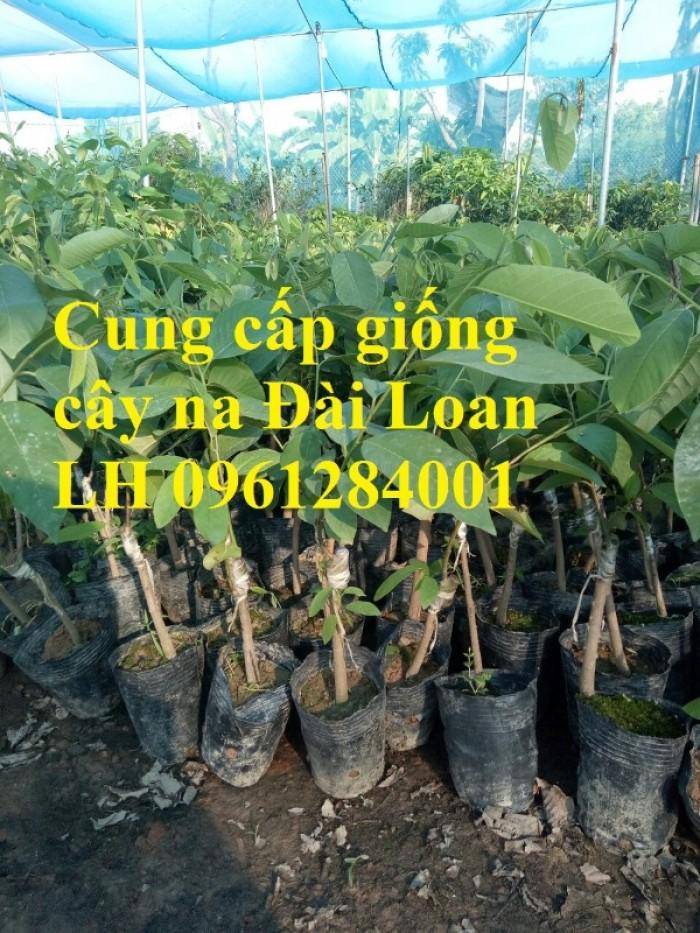Địa chỉ cung cấp giống cây na Đài Loan uy tín, chất lượng11