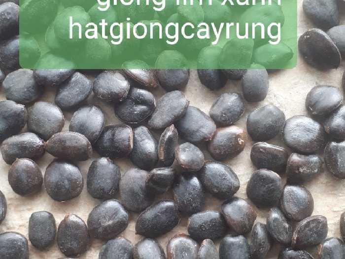 Hạt giống Lim Xanh1