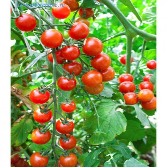 Hạt giống cà chua bi0