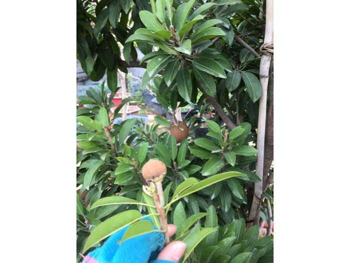 Hồng xiêm xoài cây đang trái cây lớn2