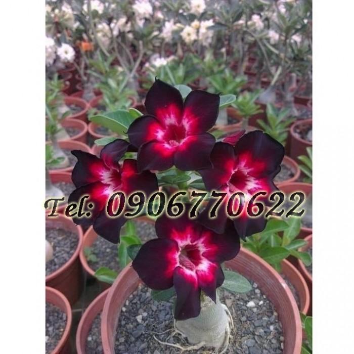 Hạt giống hoa sứ Thái mix 2 màu đỏ đen – Bịch 10 hạt0