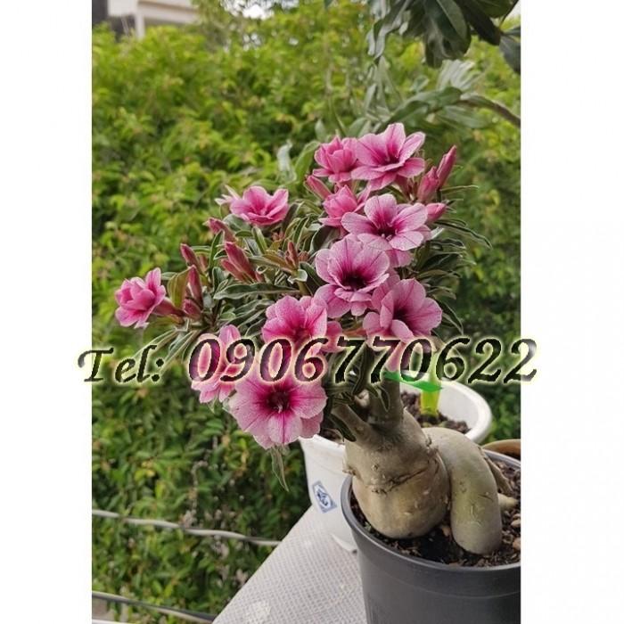 Hạt giống hoa sứ mix 2 màu Thái Lan hồng phấn – Bịch 10 hạt0