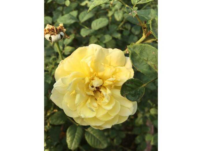 Hoa hồng ngoại bụi vàng rậm nhiều bông0