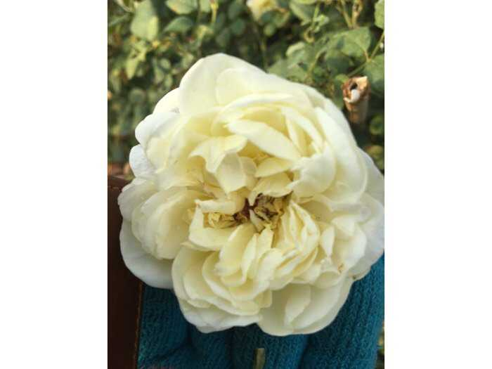 Hoa hồng ngoại bụi vàng rậm nhiều bông1