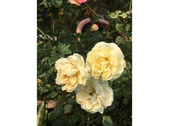 Hoa hồng ngoại bụi vàng rậm nhiều bông2