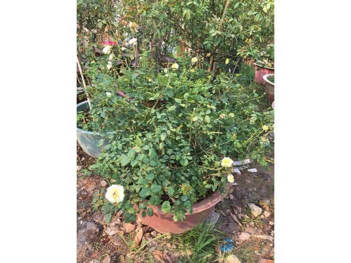 Hoa hồng ngoại bụi vàng rậm nhiều bông4