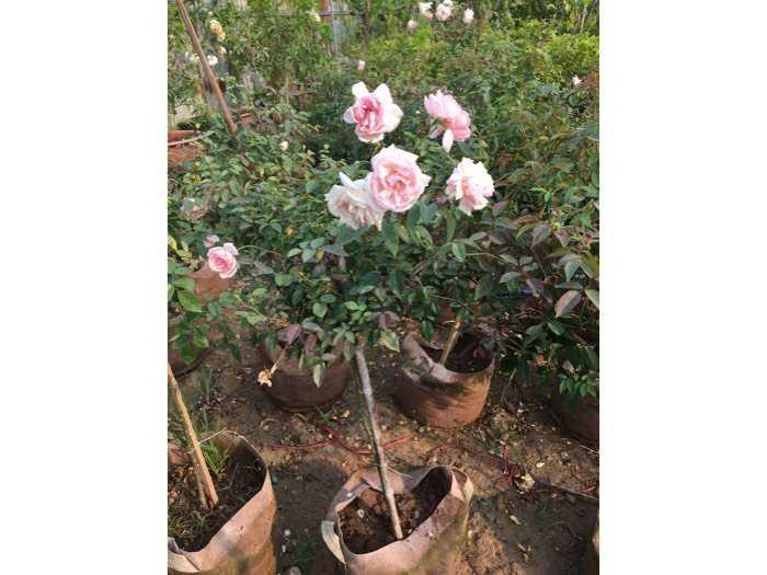 Hoa hồng dáng tree thân gỗ hoa quanh năm1