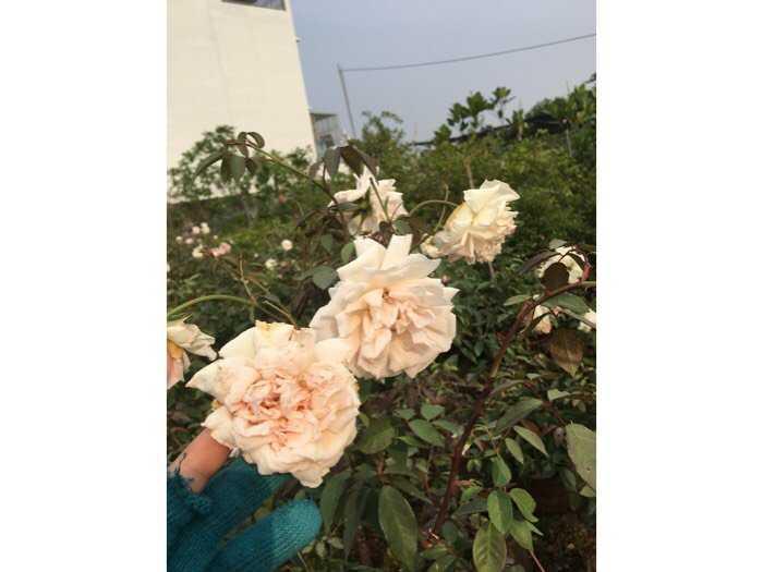 Hoa hồng dáng tree thân gỗ hoa quanh năm3