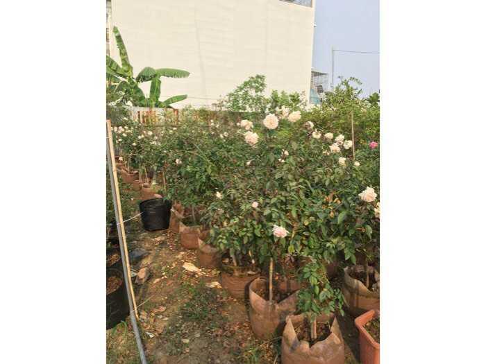 Hoa hồng dáng tree thân gỗ hoa quanh năm4