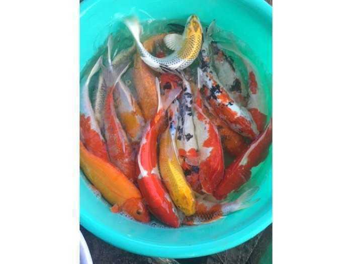 Cá Koi Vip tuyển lựa từng con sz 20-40cm- chất lượng -uy tín - giá trị0
