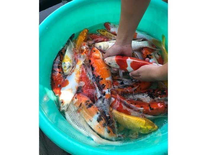 Cá Koi Vip tuyển lựa từng con sz 20-40cm- chất lượng -uy tín - giá trị2