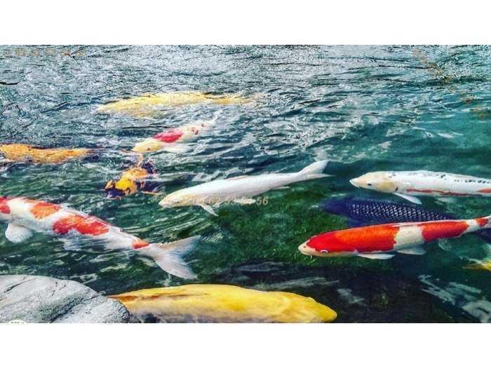 Cá Koi Vip tuyển lựa từng con sz 20-40cm- chất lượng -uy tín - giá trị3