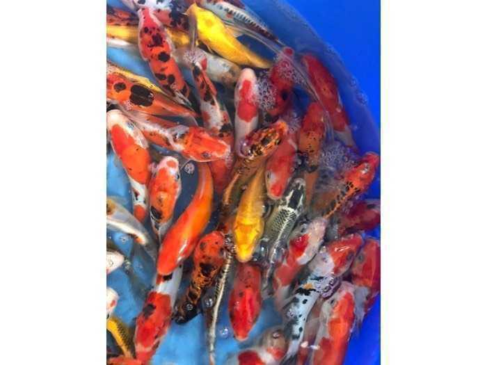Cá Koi F1 size mini 4-18cm0