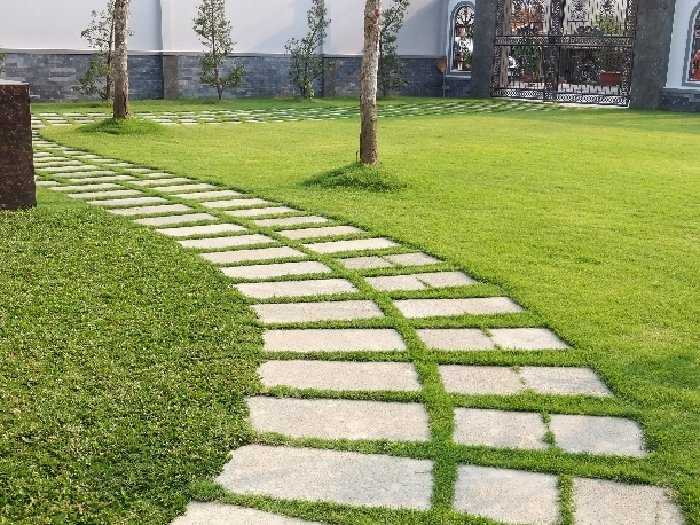 Cỏ nhung Nhật trồng sân vườn lót đá3