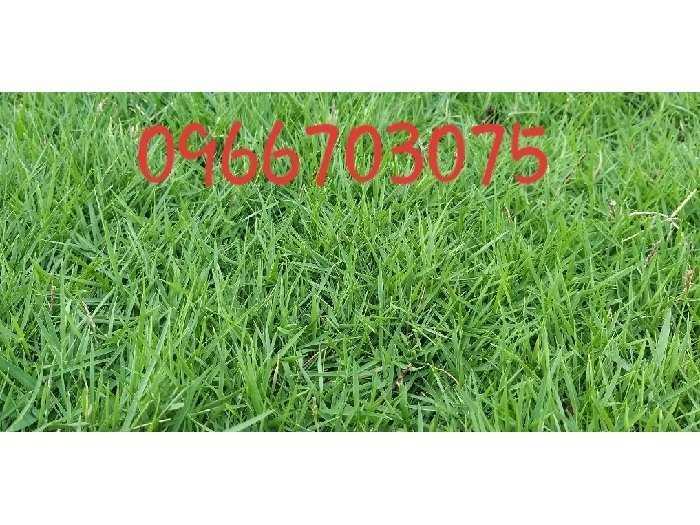 Trồng cỏ nhung Nhật sân vườn lót đá0