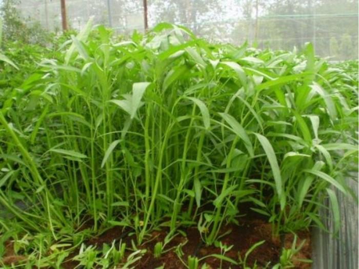 Hạt giống rau muống lá tre Phú Nông0