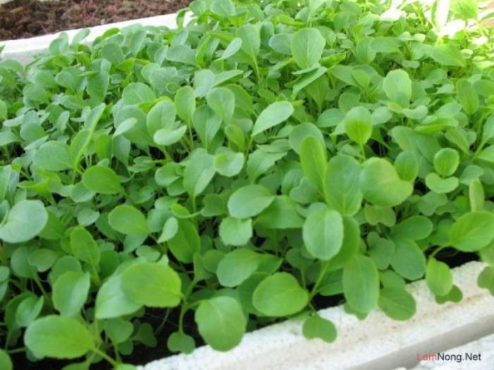 Hạt giống cải xanh ăn non Phú Nông0