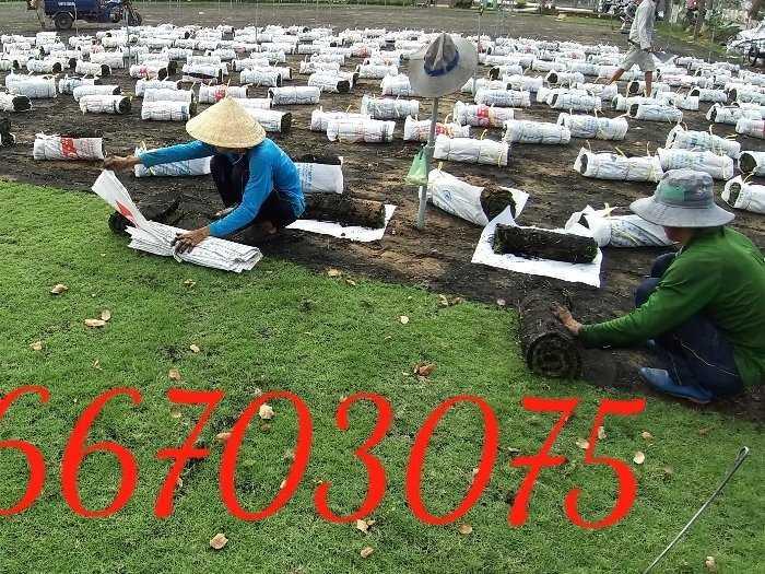 Bán cỏ nhung Nhật trang trí cảnh quan4