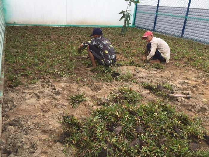 Cỏ lá tre trồng trại gà sân đá banh