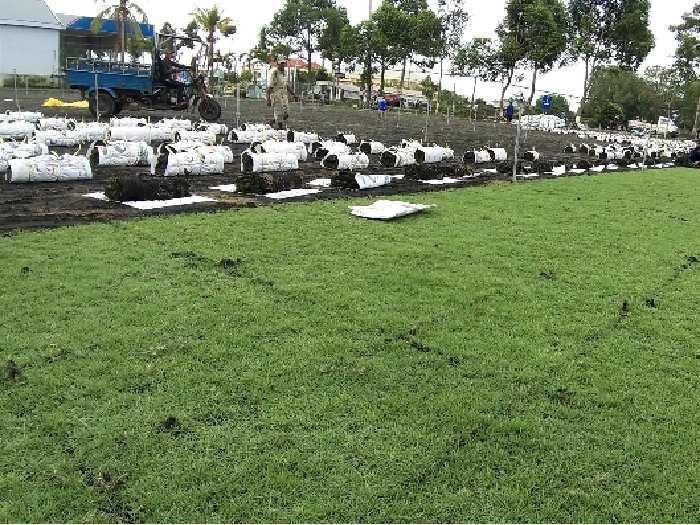 Bán cỏ Nhật nhà vườn Đức Tiến Phát