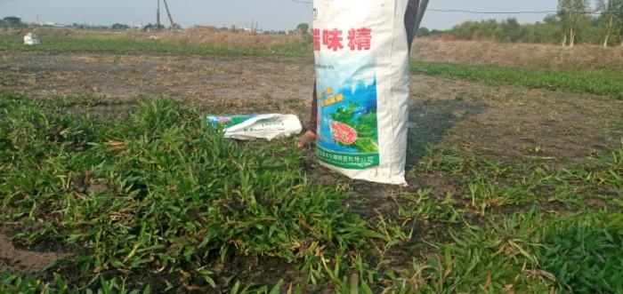 Cỏ lá tre trồng sân vườn sân banh0