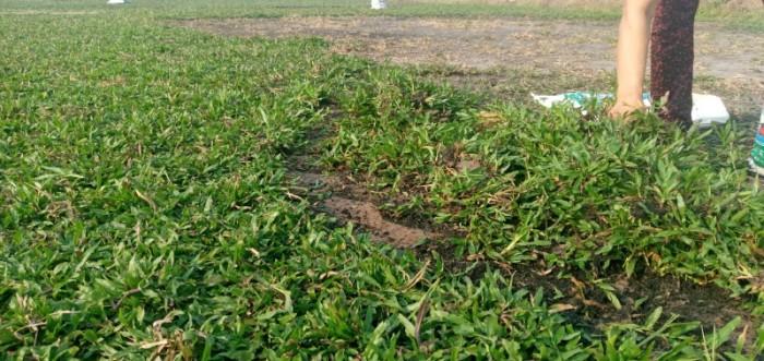 Cỏ lá tre trồng sân vườn sân banh1