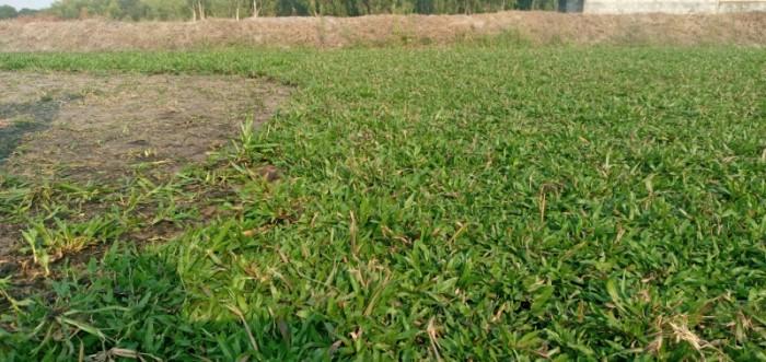 Cỏ lá tre trồng sân vườn sân banh3