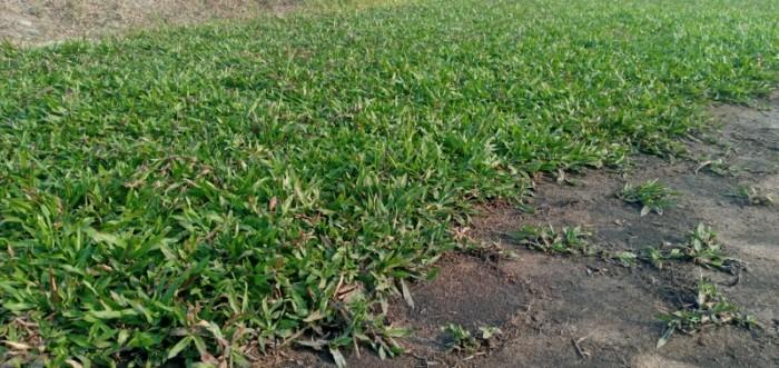 Cỏ lá tre trồng sân vườn sân banh6