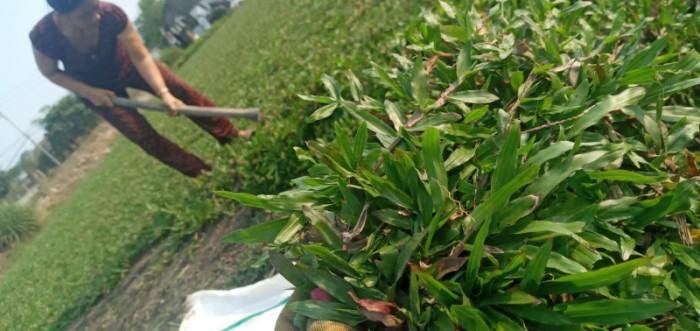 Cỏ lá tre trồng sân vườn sân banh4