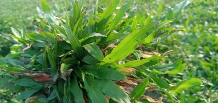 Cỏ lá tre trồng sân vườn sân banh10