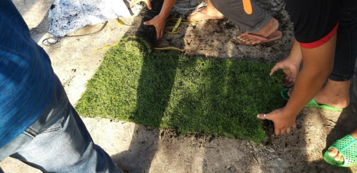 Cỏ nhung nhật cỏ kiểng0