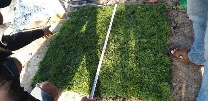 Cỏ nhung nhật cỏ kiểng1